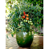 Tomato Patio Veg Plant - Little Pompeii