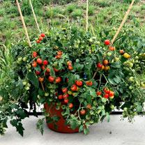 Tomato Plants - Baby Boomer