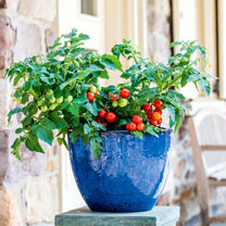 Tomato Plants - Veranda Red