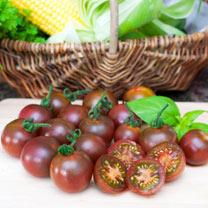 Tomato Plants - Marron