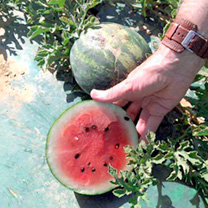 Watermelon Grafted Plants - F1 Mini Love