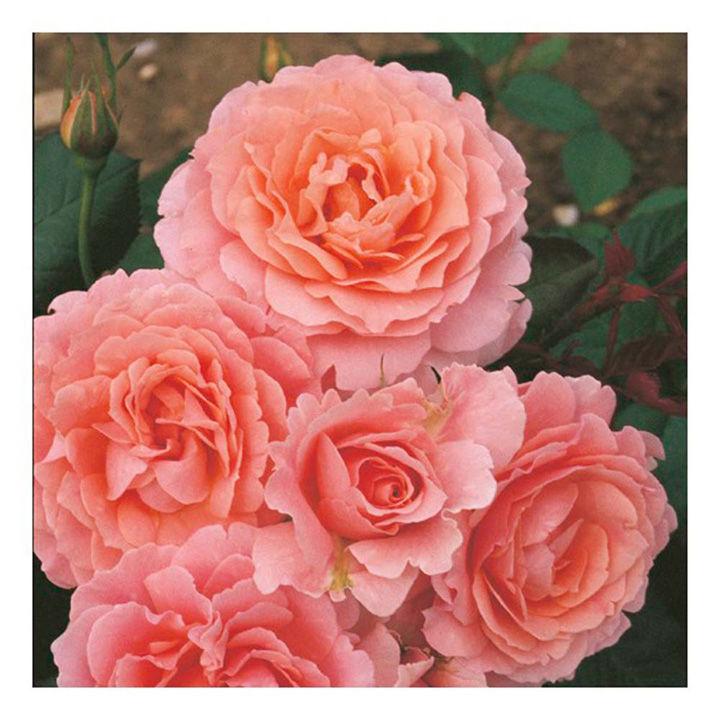 Rose Plant - L'Aimant