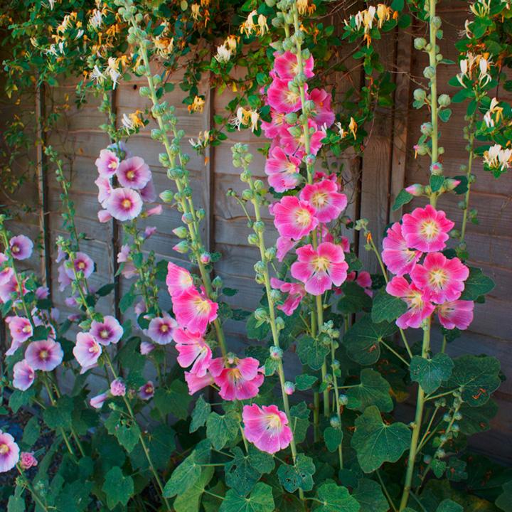 Alcea Mixed Plants