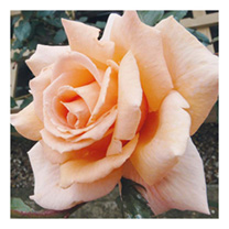 Image of Rose Plant - Breath of Life