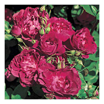 Image of Rose Plant - Cardinal Hume