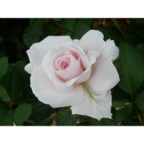 Rose Plant - Elizabeth Casson