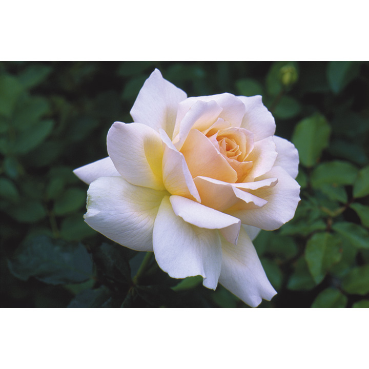 Rose Plant - Chandos Beauty