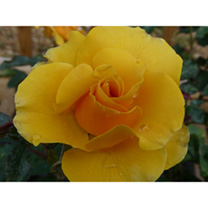 Rose Plant - St Christopher