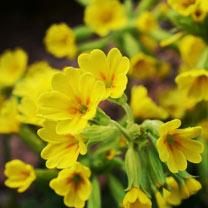 Image of Primula Plants - Cowslip