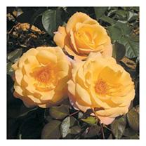 Rose Plant - Della Balfour