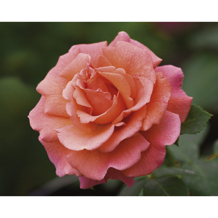 Rose Plant - Easy Does It