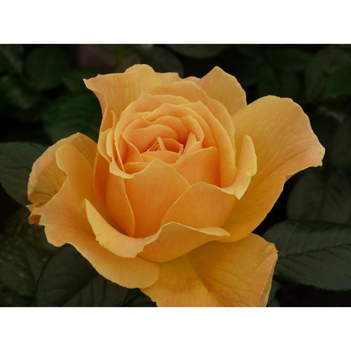 Rose Plant - Easy Going