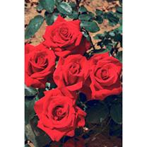 Rose Plant - Pride of England