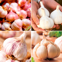 Garlic Bulbs - Lovers Autumn Planting Collection