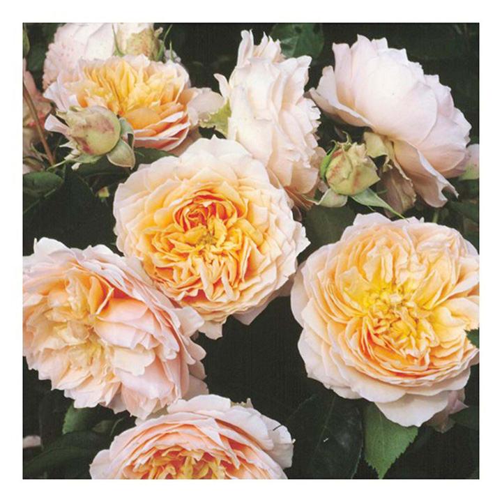 Rose Plant - Ginger Syllabub