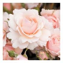 Rose Plant - Glyndebourne
