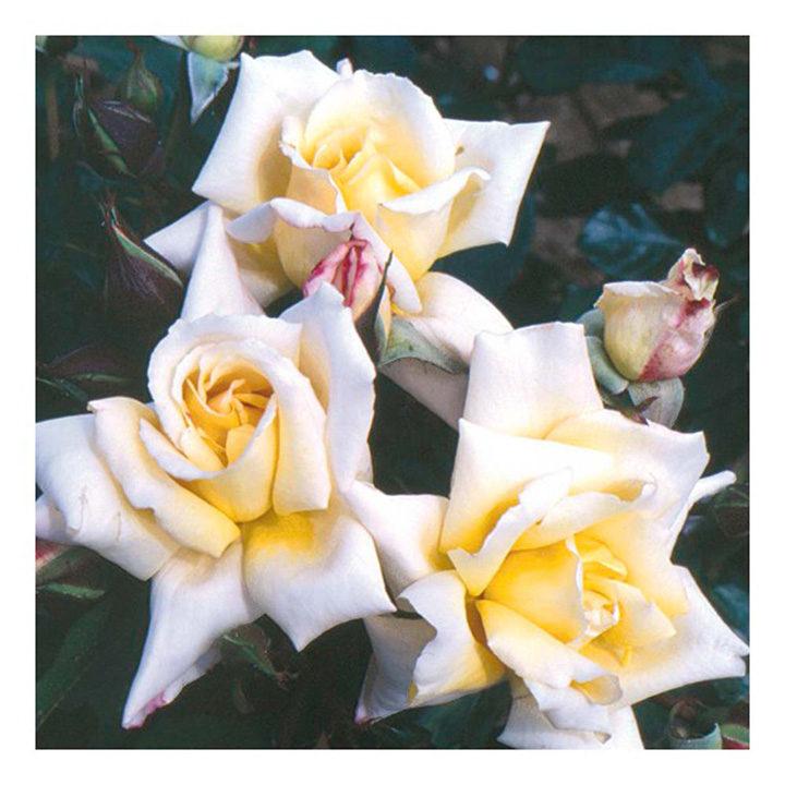 Rose Plant - Highfield