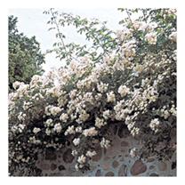 Rose Plant - Kiftsgate