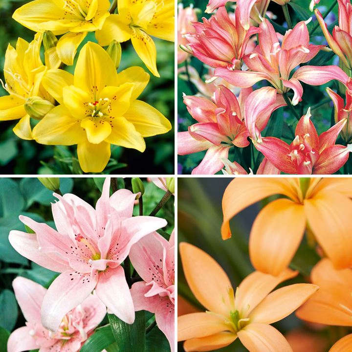 Lily Bulbs - Red/Yellow/Orange Dwarf Collection