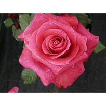 Rose Plant - Lady Mitchell