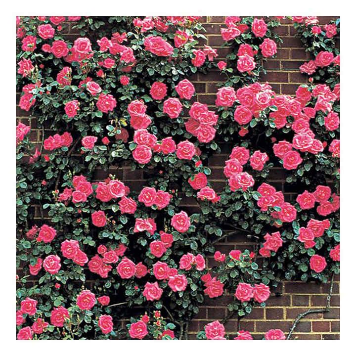 Rose Plant - Morning Jewel