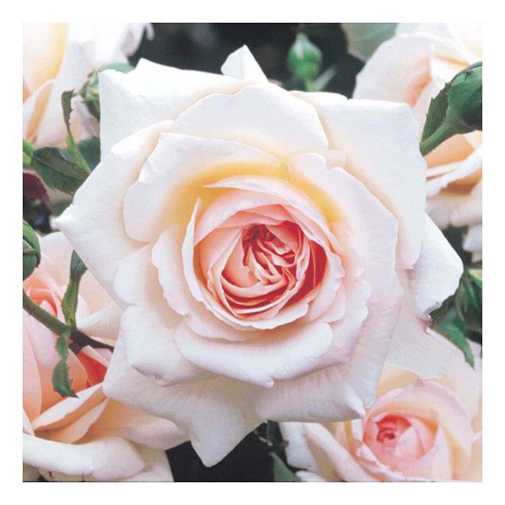 rose plant penny lane all flower plants flower. Black Bedroom Furniture Sets. Home Design Ideas
