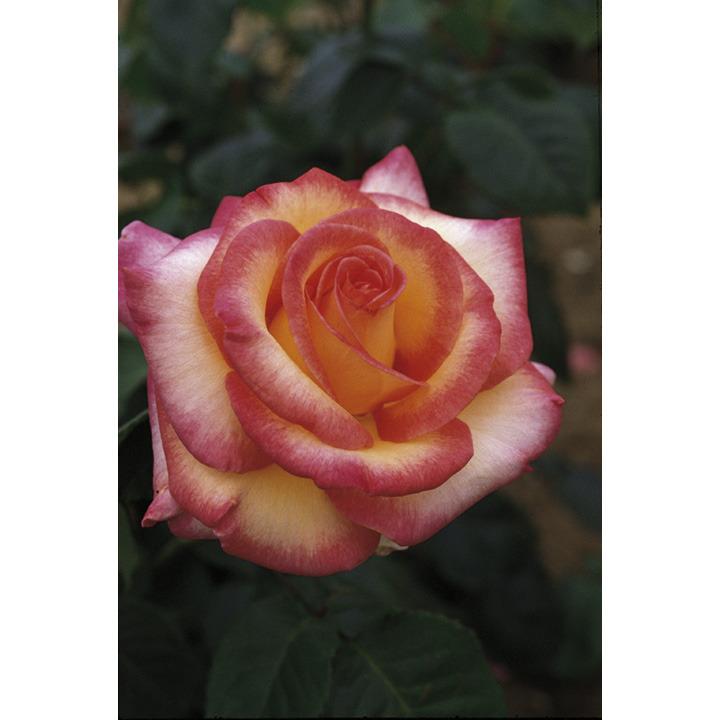 Rose Plant - Perception