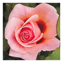 Rose Plant - Persian Mystery
