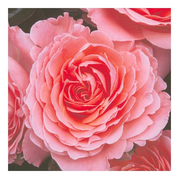 Rose Plant - Pink Abundance