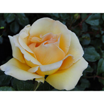Rose Plant - Poetry in Motion