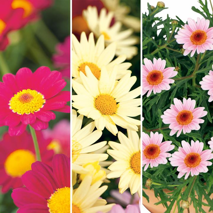Argyranthemum Plants Pretty Daisies Collection All