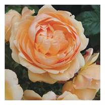 Image of Rose Plant - St Richard of Chichester