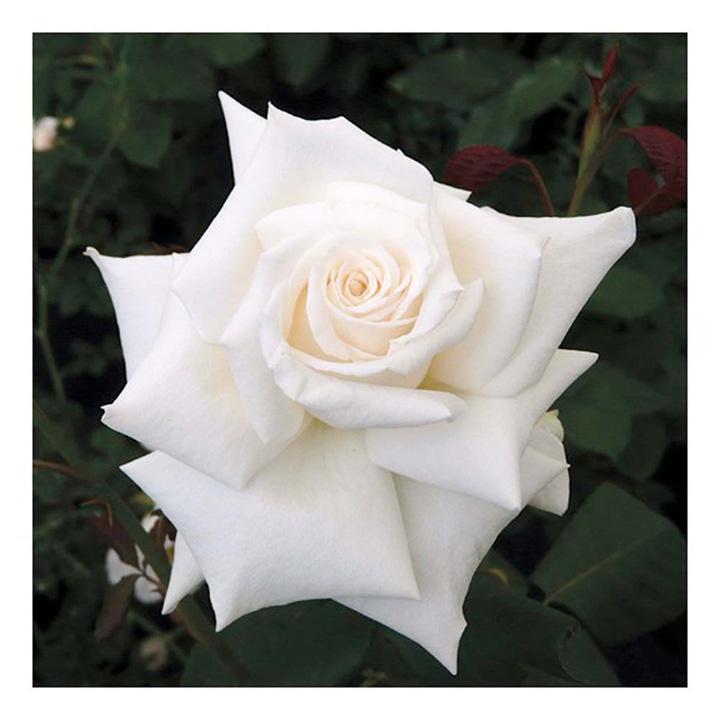 Rose Plant - Royal Philharmonic