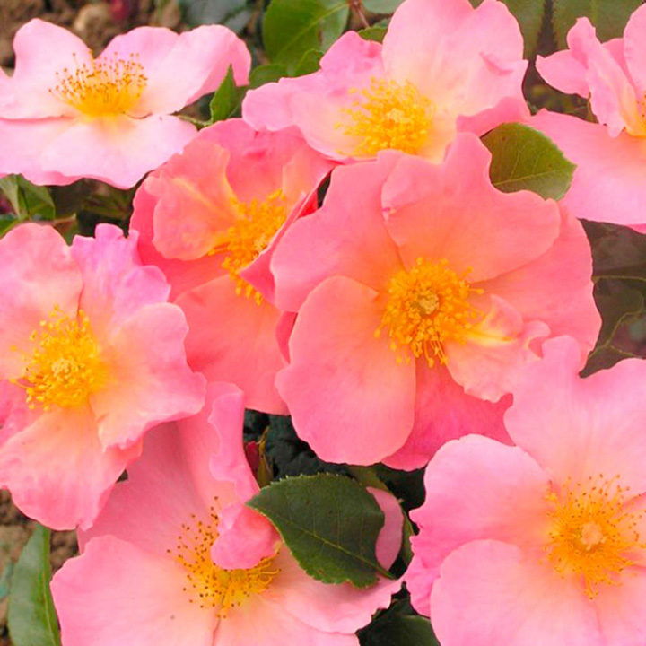 Simple Rose Garden: Flower Plants