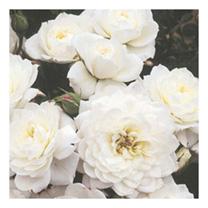 Image of Rose Plant - Snow Cap