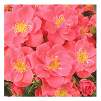 Image of Rose Plant - Summer Sweetheart