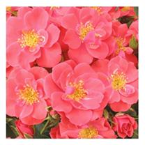 Rose Plant - Summer Sweetheart
