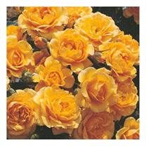 Image of Rose Plant - Suncharm