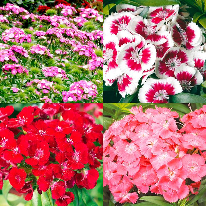 Garden Bush: Sweet William/Dianthus Plants