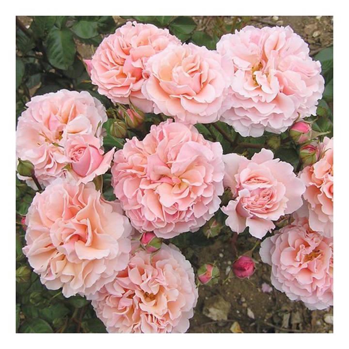 Rose Plant - Twiggy's Rose