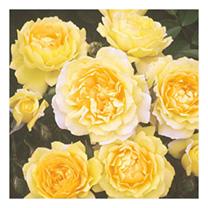 Rose Plant - Veronica Arnott